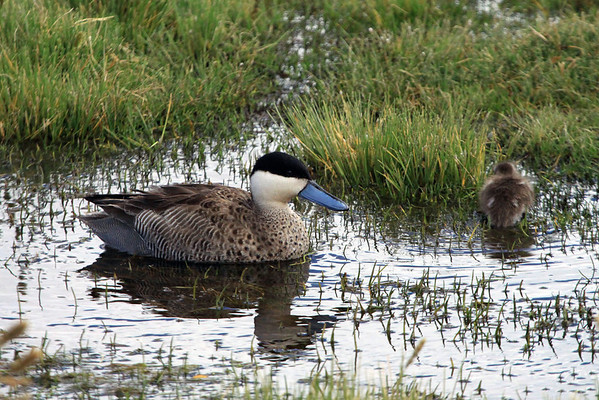 Puna Teal  - drake reflection - with a young immature going to higher ground.