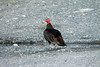 Turkey Vulture -  get ready to take a drink from a nearby stream.
