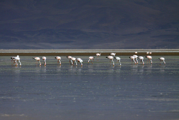 Puna Flamingos - in the late afternoon sunlight, upon Salar Ascotan - situated at about 12,210 ft. ( 3,722 m) - in the very northeastern Antofagasta (region).