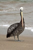 Peruvian Pelican - this species grows to about 5 ft. (1.5 m) in length - a wingspan nearing 7.5 ft. (2.3 m) - and weighing up to around 15 lb. (7 kg).