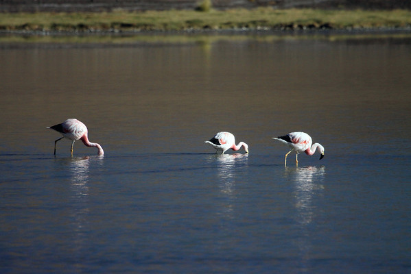Andean Flamingos - they use filter feeding to capture small particles at the sediment/water interface. They have narrow and deep lower mandibles which allow them to capture small particles, most commonly diatoms and algae.