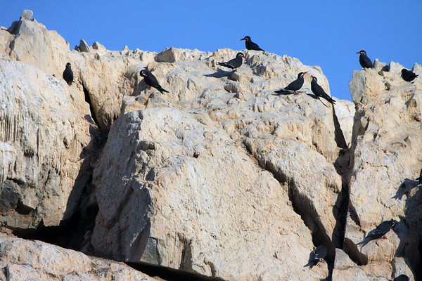 Inca Tern - perched upon the guano coated rocks - in the mid morning sunlight.