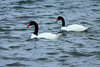 Black-necked Swan - they are a strong flier that is capable of long-distance migrations and speeds of up to 50 mph (80 km/hr.), but it is not very mobile on land.