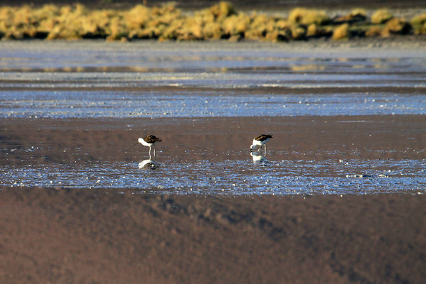 """Andean Avocet - known locally as """"Caití"""" - this species is found on or near saline and alkaline lakes, open parts of marshes, seasonally flooded meadows and small pools upon of Andean Plateau, between about 8,200-16,400 ft. (2,500-5,000 m).  During the non-breeding season they will frequent other types of wetlands and also tidal flats along the coasts.  They feed on aquatic invertebrates, small crustaceans and molluscs - foraging in shallow water by sweeping the bill side to side - and using the lamellae inside the bill to filter the prey.  These specimens in the Salar Ascotan - very northeastern Angofagasta (region)."""