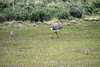 Lesser Rhea - a large flightless bird growing to about 5 ft. (1.5 m) tall - 3 ft. (.9 m) to back - and weight up to about 55 lb. (25 kg). They feed mostly on plant matter, including grasses and seeds, but also takes some small animals, especially insects.