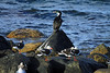Beyond the  Dolphin Gulls - to the Blue-eyed Cormorant - in the Bahia Porvenir.
