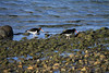 Magellanic Oystercatcher - during ebb tide along the Bahia Porvenir.