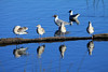 """Brown-hooded Gull - known locally as """"Gaviota Cáhuil"""" - juveniles along the log, with matures beyond."""