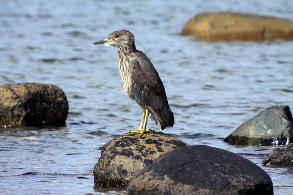 Striated Heron - brownish, with well striated neck, and with whitish and buffy spots on upper wings. Throat, neck and chest are streaked with brown.