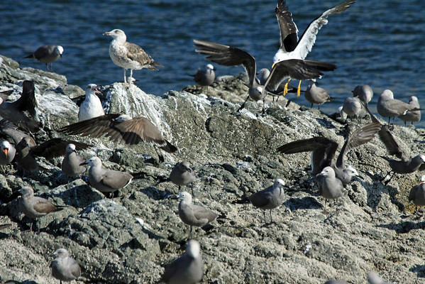 Peruvian Gull - an adult specimen flying in to perch, with two other juveniles - sharing the rocky Bahia Moreno shoreline, with the Gray Gulls.