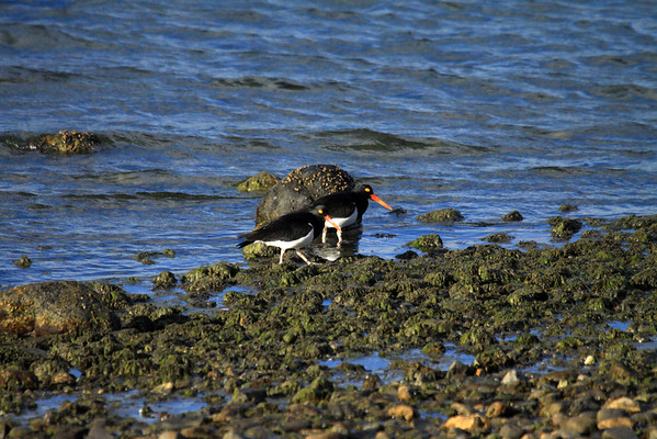 Magellanic Oystercatchers - indigenous to southern Chile and Argentina, and the Falkland Islands.