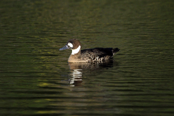 Spectacled Duck - this species grows to about 1.8 ft. (55 cm) in length.