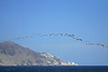 Peruvian Pelicans - flying along the nearshore waters, displaying their soaring glide, interrupted by deep, methodical wingbeats - with the guano coated end of Cabo Paquica, in the background.