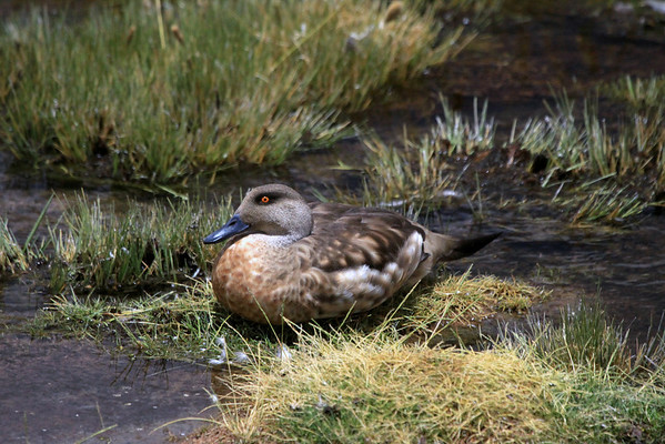 Andean Crested Duck (Lophonetta specularioides alticola)