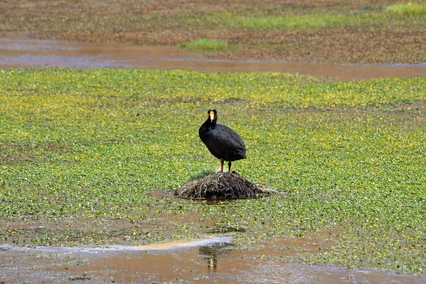 Giant Coot - with its distinctive lobed crown and multi-colored shield and bill - atop its water surrounded nest.