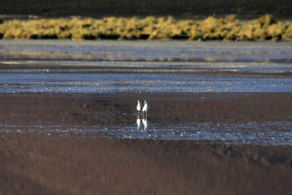 Andean Avocet -  there is no sexual dimorphism in this species.