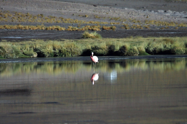 """Andean Flamingo - once they have become fully colored adults, usually from 3-6 years - they breed colonially, sometimes in mixed-species groups - laying only one egg (unless first egg predated), mainly in December-February.  The egg is incubated by both parents for 27-31 days.  Newly hatched flamingos are covered in white/grey down feathers. They live in the nest for the next 5-8 days before forming crèches (groups of chicks), which contain numerous chicks, however, taken care of by only a few adult flamingos. It takes 6-10 months before chicks are ready to fend for themselves.  For several months adults feed their young """"crop milk"""", food and secretions from the parent's crop."""