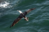 Aerial flight and tail feathers of a Peruvian Booby - with the waters of Bahia Moreno below.