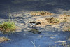 Bairds's Sandpipers - reflection in the Rio Putana.