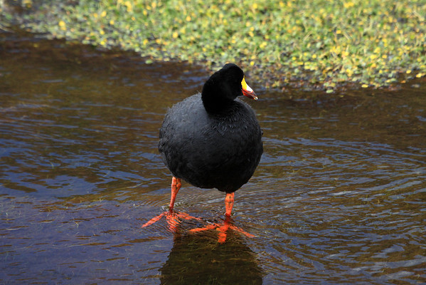 Giant Coot - this species grows to about 25 in. 64 cm) in length - and weight up to about 5.5 lb. (2.5 kg).