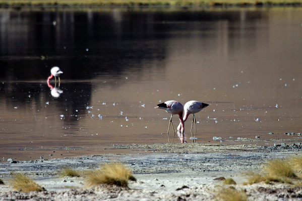 """Flamingos - feeding in the early morning, early summer season - in the Puna de Atacama (an arid high plateau), the very northern end of the """"Southern Andes""""."""