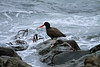 """Blackish Oystercatcher - known locally as """"Pilpilén Negro"""" - feeding along the rocky shoreline, with brown algae (kelp) washed ashore."""