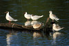 Brown-hooded Gulls - are a small species, grow to about 14 in. (36 cm) in length.