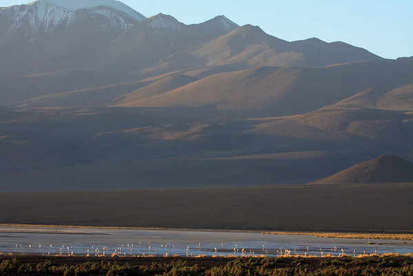 Morning light upon the Flamingos and tussock grass, along the northwestern section of Salar Ascotan - viewing southwestern, across the Pampa Palpana - up to the shaded snowcap of Cerro Polapi.