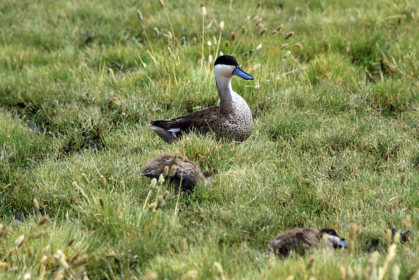 Puna Teal - with a couple of young juveniles.