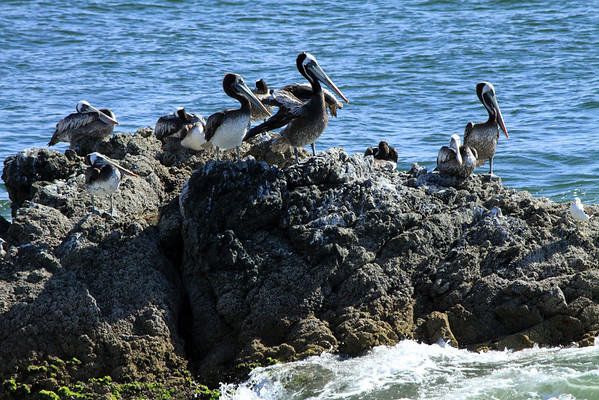Peruvian Pelicans - resting in the classic bill upon chest between wings position) - also a solo Peruvian Gull nearby.