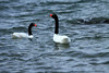 Black-necked Swans - while most swans are known for their loud calls, these species have a soft, musical whistling.