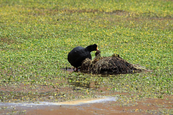 Giant Coot - pairs build huge nests, out in the waters, primarily made of aquatic vegetation.  These nest are typically reused from year to year (forming a peat-like base thru the years).
