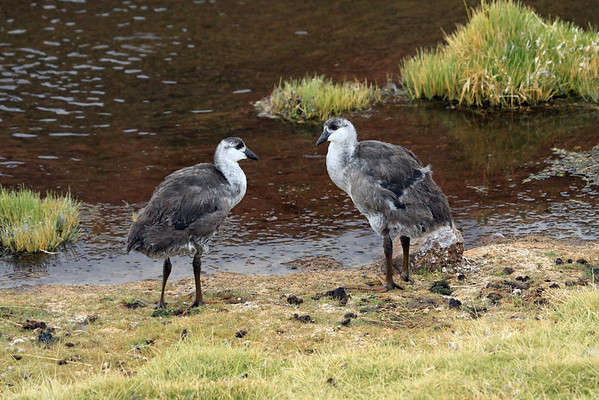 Pair of juvenile Giant Coots - along the edge of the Rio Putana.