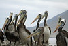 Peruvian Pelicans - at Caleta Pan de Azucar (Sugar Bread Cove).