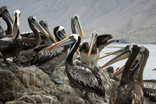 Gular pouches of the Peruvian Pelicans.
