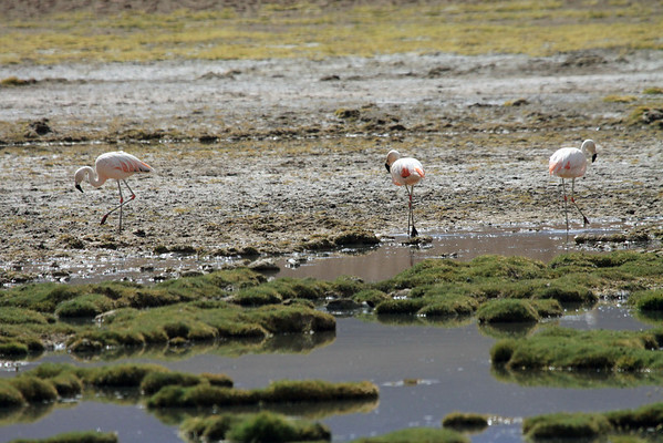 Chilean Flamingos - strolling along the high altitude Rio Putana - the feed water between the Volcans Tocorpuri and Colorados.