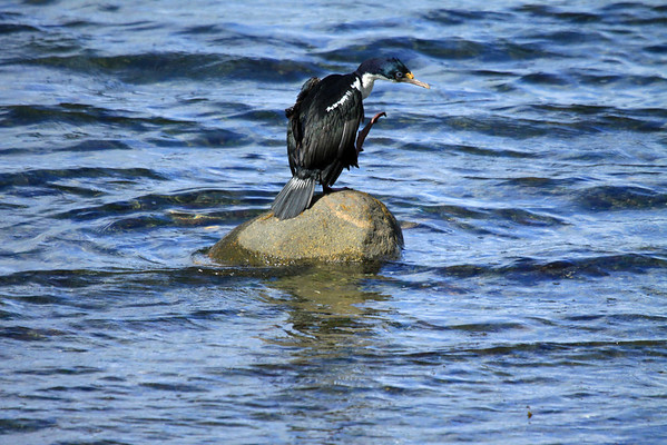Blue-eyed Cormorant - sunning atop a rock in Bahia Porvenir - displaying its pink webbed foot.