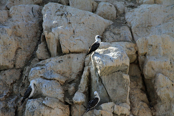Peruvian Booby - this species grows to about 2.4 ft. (.7 m) in length - their head, neck, mantle and underparts are white - the wings, back and tail are a mottled dark brown - a purplish/blue bill and webbed feet - and chestnut or brownish eyes.