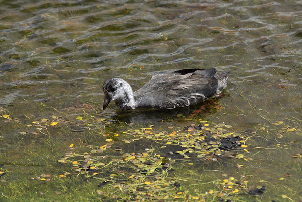 Juvenile Giant Coot - foraging in the clear high altitude waters of the Andean Plateau.