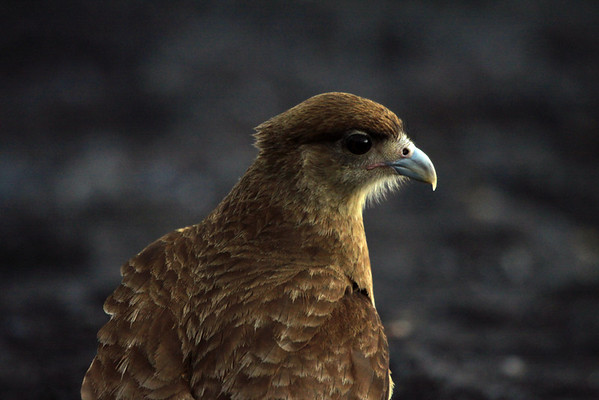 Chimango Caracara - a bird of prey - feeding upon small rodents, insects, small fish, shrimp, and worms - will also take turtle and bird eggs and nestlings, and carrion.