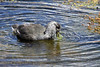Giant Coot - juvenile, feeding on aquatic grass blades.