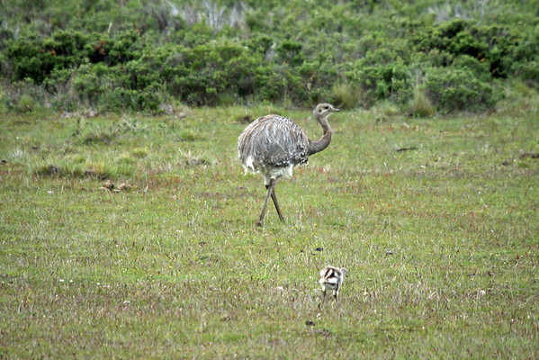 Lesser Rhea  (Rhea pennata pennata) - with young offspring - in the grassland and scrubland terrain of Magellanes (region) - northwest of Punta Arenas