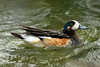 Chiloe Wigeon - this species grows to about 20 in. (50 cm) long - a wingspan near 30 in. (76 cm) - and weights up to around 2 lb. (900 g).