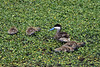 Puna Teal - keeping a watchful guard, upon its feeding brood.