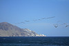 Peruvian Pelicans - flying towards the tip of Cabo Paquica - northwestern Antofagasta (region).