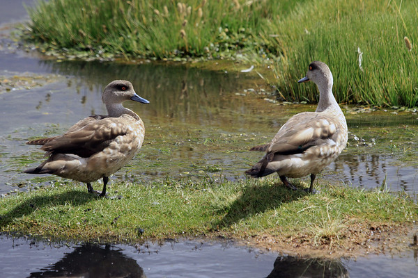Andean Crested Duck (Lophonetta specularioides alticola) - these specimens  grows to about 1.5 ft. (46 cm) in length.