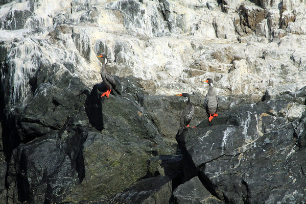 Red-legged or Gray Cormorants - perched along the high tide line - with the guano coated rocks above.