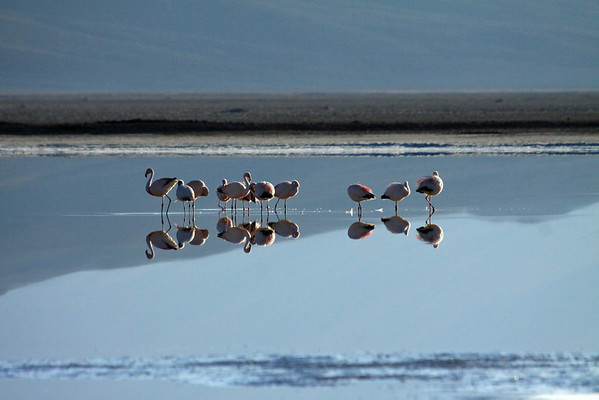 Early morning sunlight, upon calm water reflections of the Flamingos - Phoenicoparrus (sp.) - in the Salar Ascotan.