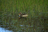 Yellow-billed Teal (Anas flavirostris) - reflection amongst the aquatic grass