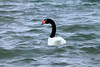 Black-necked Swan - aquatic vegetation hanging from it mouth.